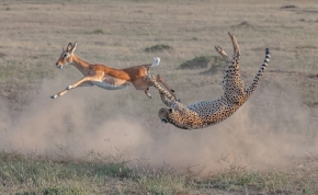 Bámulatos fotó: a zsákmány lenyomja a vérszomjas vadászt? Impala a gepárd ellen