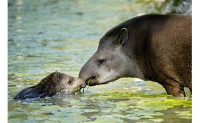 Egy szárazföldi állat, amely négy lábbal sétál a víz alatt – videó