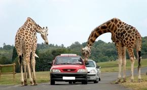 Szerdán nyit Magyarország első autós szafari parkja