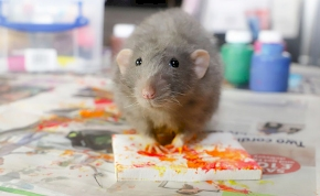 Patkányok festenek képeket, az emberek pedig vásárolják azokat, mint a cukrot