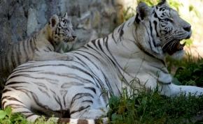 Lasszóval próbálták meg elkapni a városban kóborló tigriseket – videó