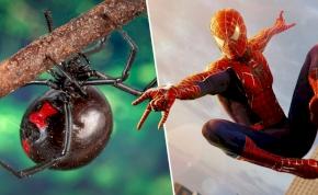 Mérges pókkal maratta meg magát három kisfiú, mert Pókemberré akartak válni