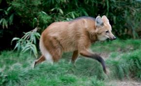 Óriáslábú rókák járják az erdőket? Egy új, hibrid faj? Szó sincs róla