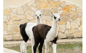 Lámacsikók születtek debreceni állatkertben