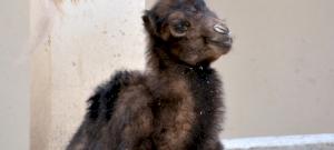 """Tippelj, hogy mi lett végül a budapesti állatkert """"gyereknapi"""" tevecsikójának neve"""