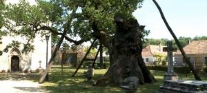 Magyarország legöregebb fája, amelynél már 1100 éve megállhattak honfoglaló őseink is