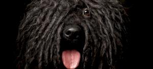 Ismered mind a kilenc magyar kutyafajtát? A nyolcadikról valószínűleg nem hallottál