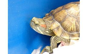 A kihalás szélére sodortuk a teknősfajták felét