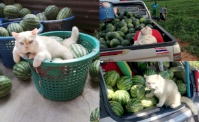 Morgós macskával őriztetik a dinnyéket, a cica azonnal támad, ha nem fizettél a gyümölcsért – videó