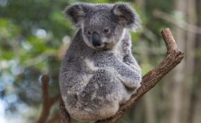 Veszélybe kerültek a koalák, 2050-re kihalhatnak