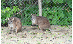 Kihaltnak hitt kengurufaj a Budapesti Állatkert újdonsága