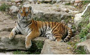 A látogatók szeme láttára ölte meg gondozóját a szibériai tigris