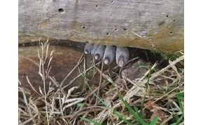 Halott ember lábujjainak hitték az erdei gombát, ami Magyarországon is őshonos