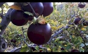 Itt a fekete alma! – videó