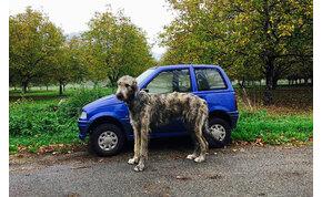 Egy kutya, amely akkora, mint egy kocsi – videók