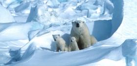 Unokáink már nem fogják tudni, hogy milyen állat volt a jegesmedve