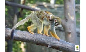 """Most a mókusmajmoknál folytatódik a """"baby boom"""""""