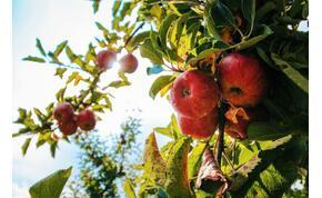 Fele annyi alma és körte terem idén, mint tavaly