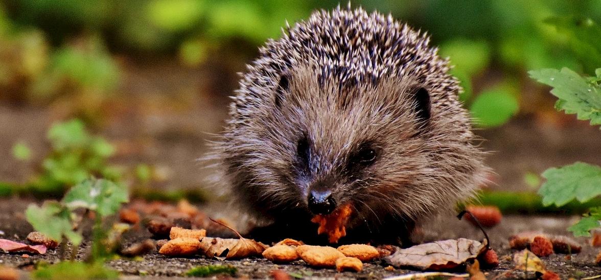 A sündisznó és az európai mókus is kihalhat Nagy-Britanniában