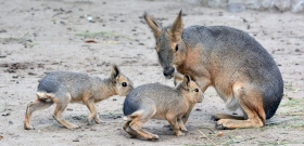 Nagy mara kölykök születettek a Fővárosi Állatkertben