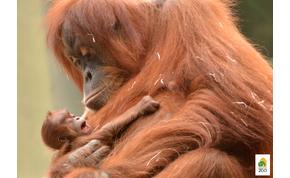Te döntheted el, hogy mi legyen a neve a Fővárosi Állatkert orángután bébijének
