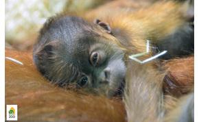 Különleges neve lett a budapesti állatkert orángután kölykének