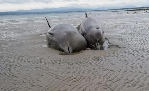 Keserves kínok között pusztultak el a partra sodródott cetek – videó