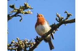 A járvány elképesztően pozitív hatással volt a madarak énekhangjára