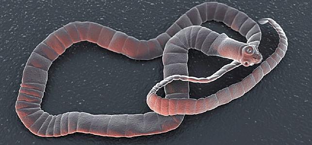 nyelni galandféreg fogyni egészségügyi szorongás és fogyás