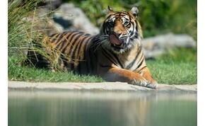 Különleges macska helyett szumátriai tigriskölyköt vett a házaspár