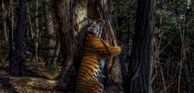 Fát ölelő tigris – itt az év természetfotója