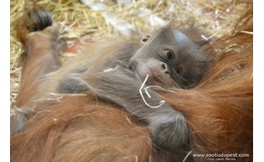 Féltestvére született Móricnak, a Budapesti Állatkert orangutánbébijének