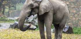 2 év után visszatért családjához a Nyíregyházi Állatpark elefántja