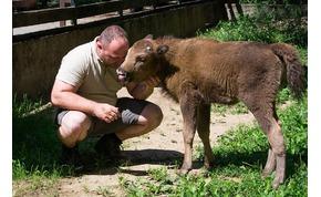 Visszatelepítették a vadonba a Nyíregyházi Állatpark bölényét