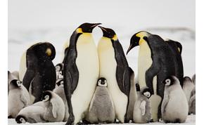 Rengeteg pingvin és fóka kerülhet veszélybe a világ legnagyobb jéghegye miatt