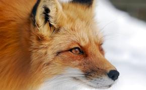 Csodálatos történet: a róka a fiú legjobb pajtija lett, miután megmentette az életét