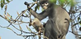 Felfedeztek egy új főemlősfajt, ami már most veszélyeztetettnek számít