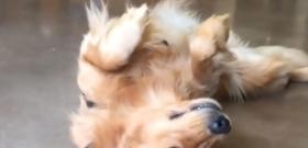 Egy földön fekvő hisztis kutya az internet új sztárja - videó