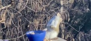 Erjesztett körtétől berúgott mókus az internet legújabb szenzációja – videó