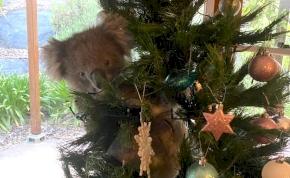 """Karácsonyfadísz akart lenni a koala, ezért """"betört"""" egy családi házba – fotó"""