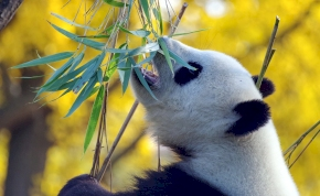 Kaki-kutatók nagy áttörése: kiderült, miért kenik be lókakival a fejüket a pandák