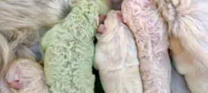 Láttál már zöld színű kölyökkutyát? Mutatunk egyet