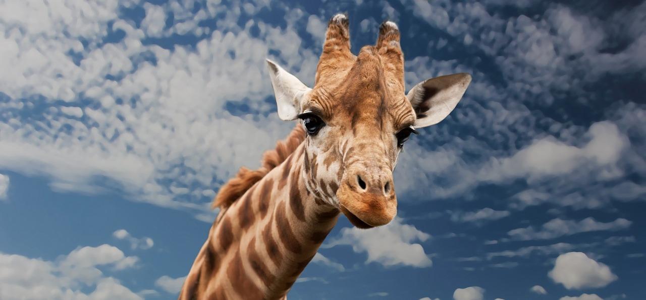 Törpe zsiráfot sikerült levideózni Afrikában