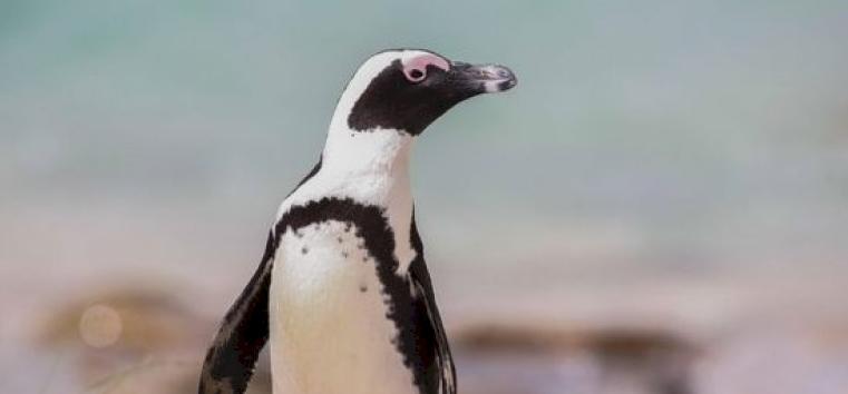 Napi cukiság: pápaszemes pingvin született a Szegedi Vadasparkban