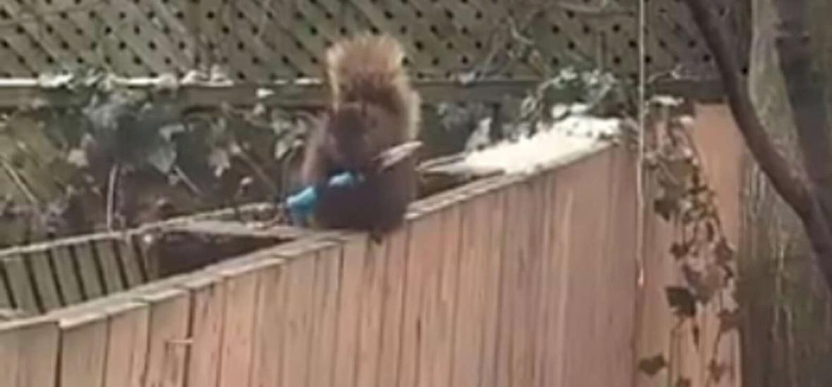 Késsel portyázó mókus tartja rettegésben a szomszédságot