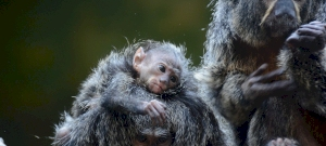 El mono Satanás de cara blanca nació en el parque de juegos de Szeged - fotos