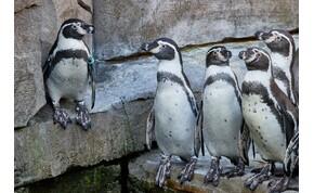 Állati találkozás: ha két pingvincsapat összefut, zavar támad az erőben – videó