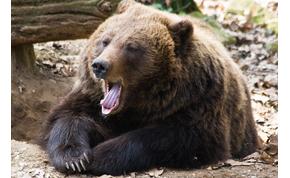 Közeledik a tavasz? Előbújtak a medvék a Szegedi Vadasparkban – videó