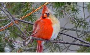 Félig him, félig nőstény madárra bukkantak Pennsylvaniában