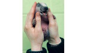 Elképesztően aranyos bébiborzot mentettek – fotók